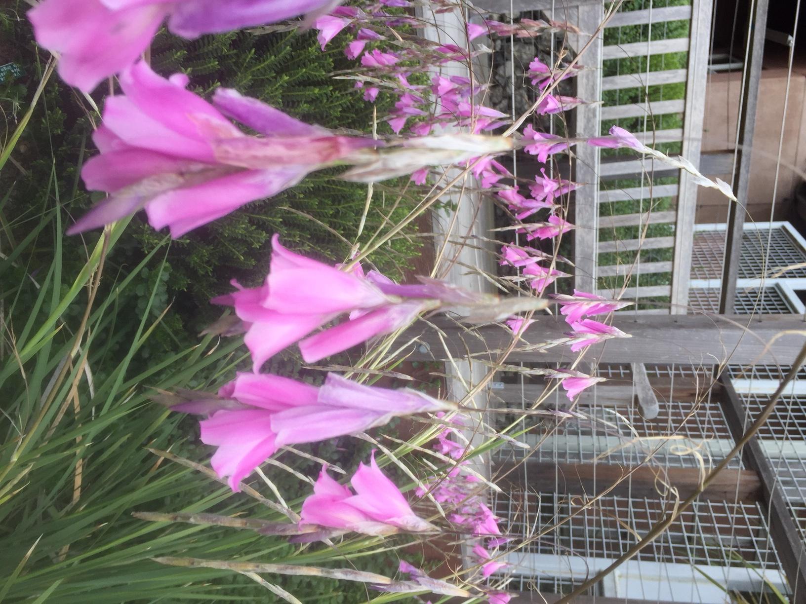 Dierama pulcherrimum photo