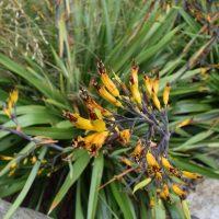 Phormium cookianum at the Washington Park Arboretum