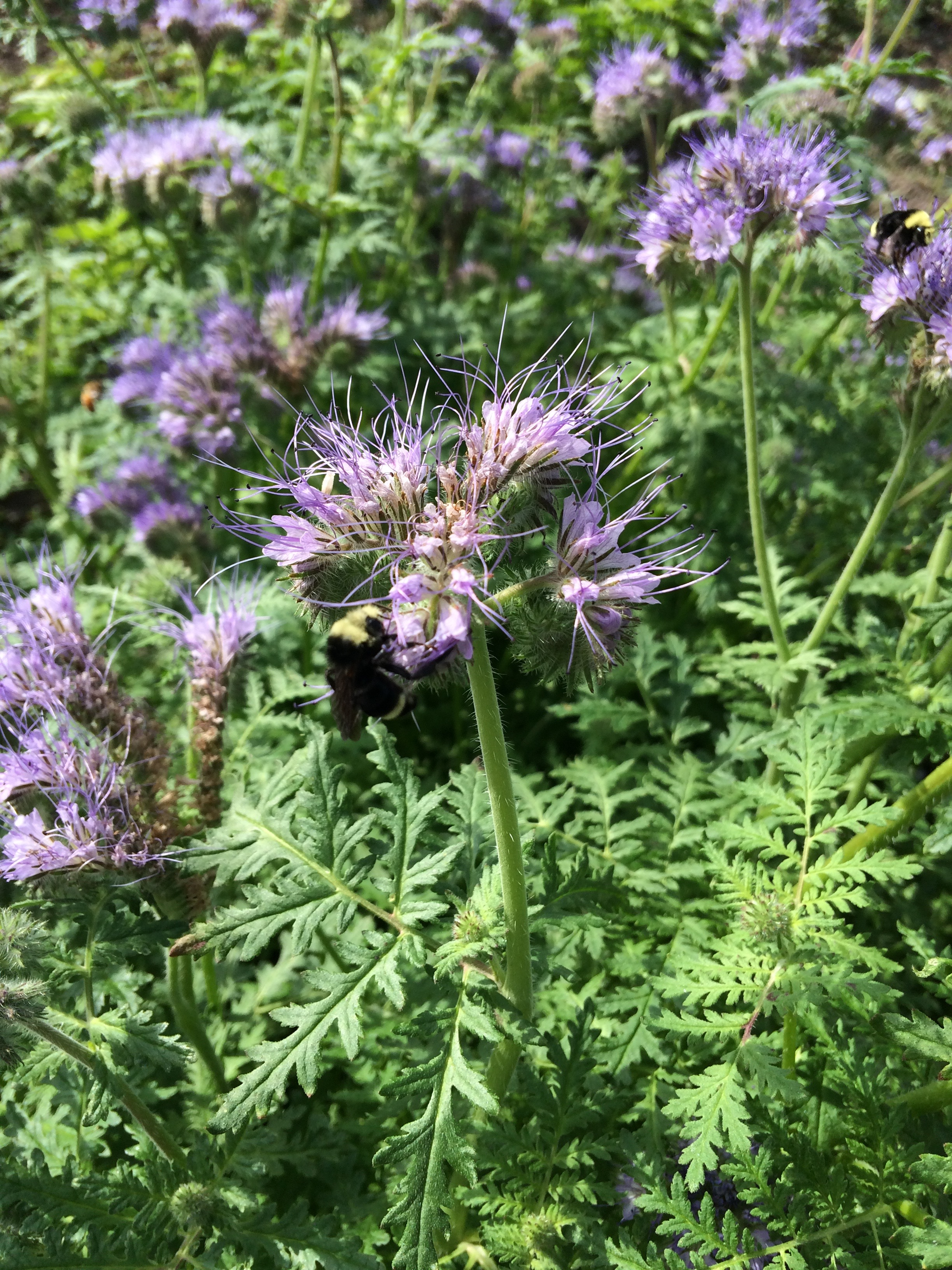 laurelhurst blog  uw botanic gardens october plant profile of phacelia