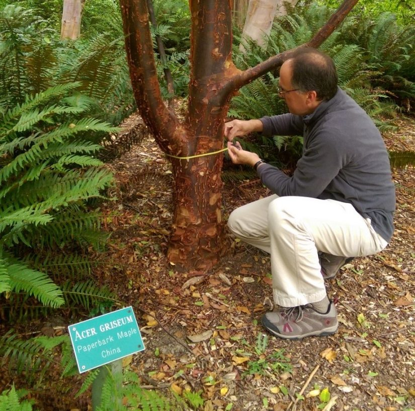 Aiello measuring trunk diameter on Acer griseum