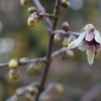 Chimonanthus praecox flower