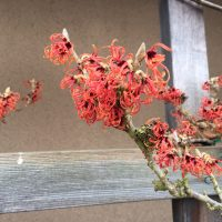 flowers of Hamamelis 'Jelena'