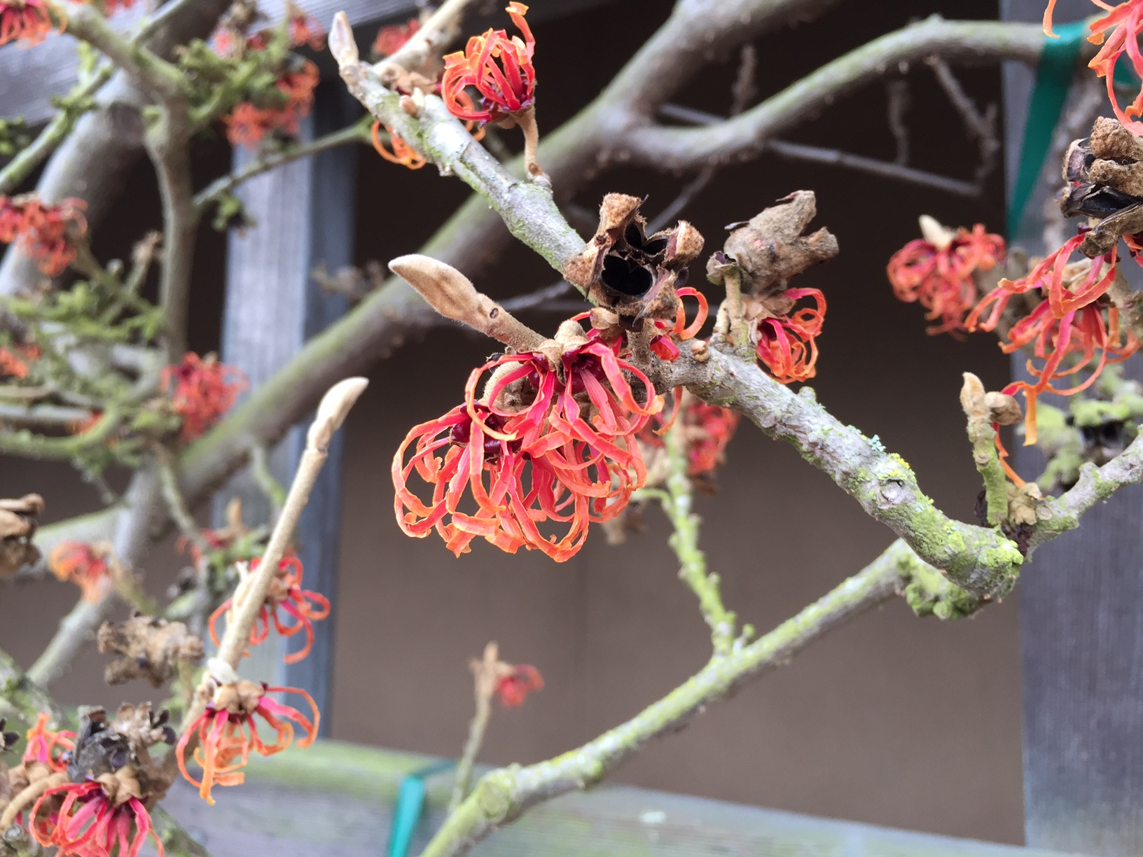 February 2017 Plant Profile: Hamamelis x intermedia 'Jelena'