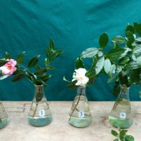 photo of camellias