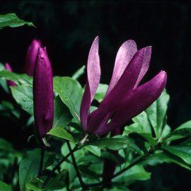 magnolia-liliiflora-x-susan