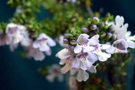 Close-up photo of Prostanthera cuneata (or Alpine Mint Bush)