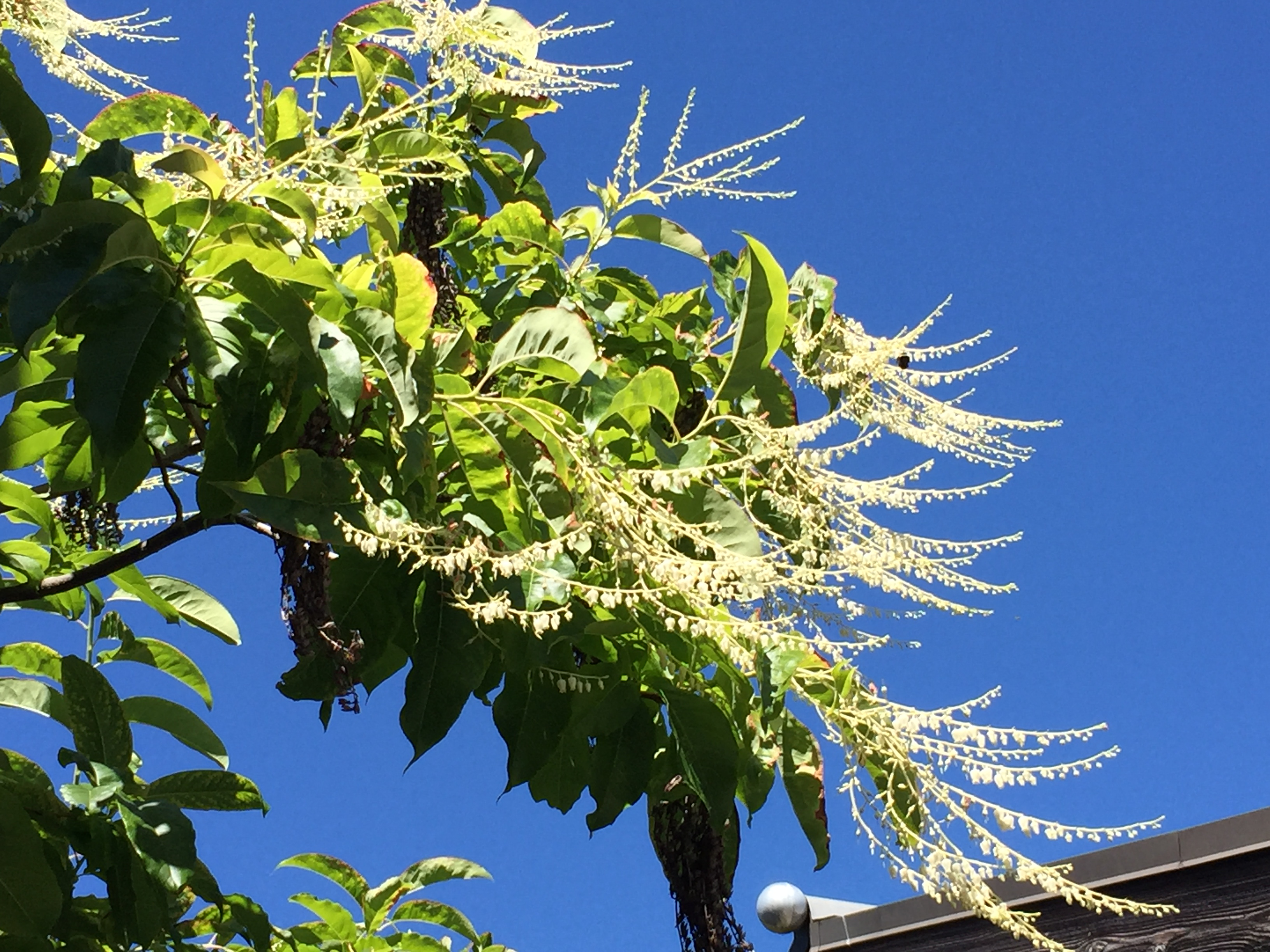 43549cd59a45 August 2017 Plant Profile: Oxydendrum arboreum