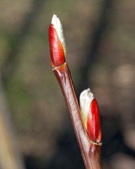 Salix fargesii buds