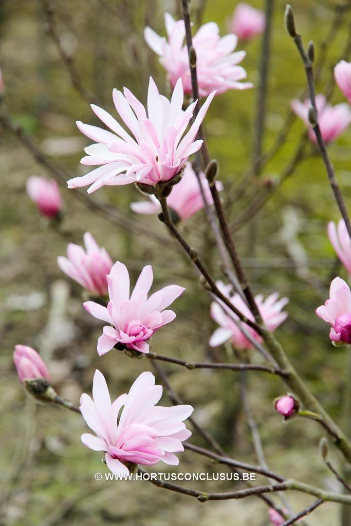 magnolia stellata 'jane platt'_
