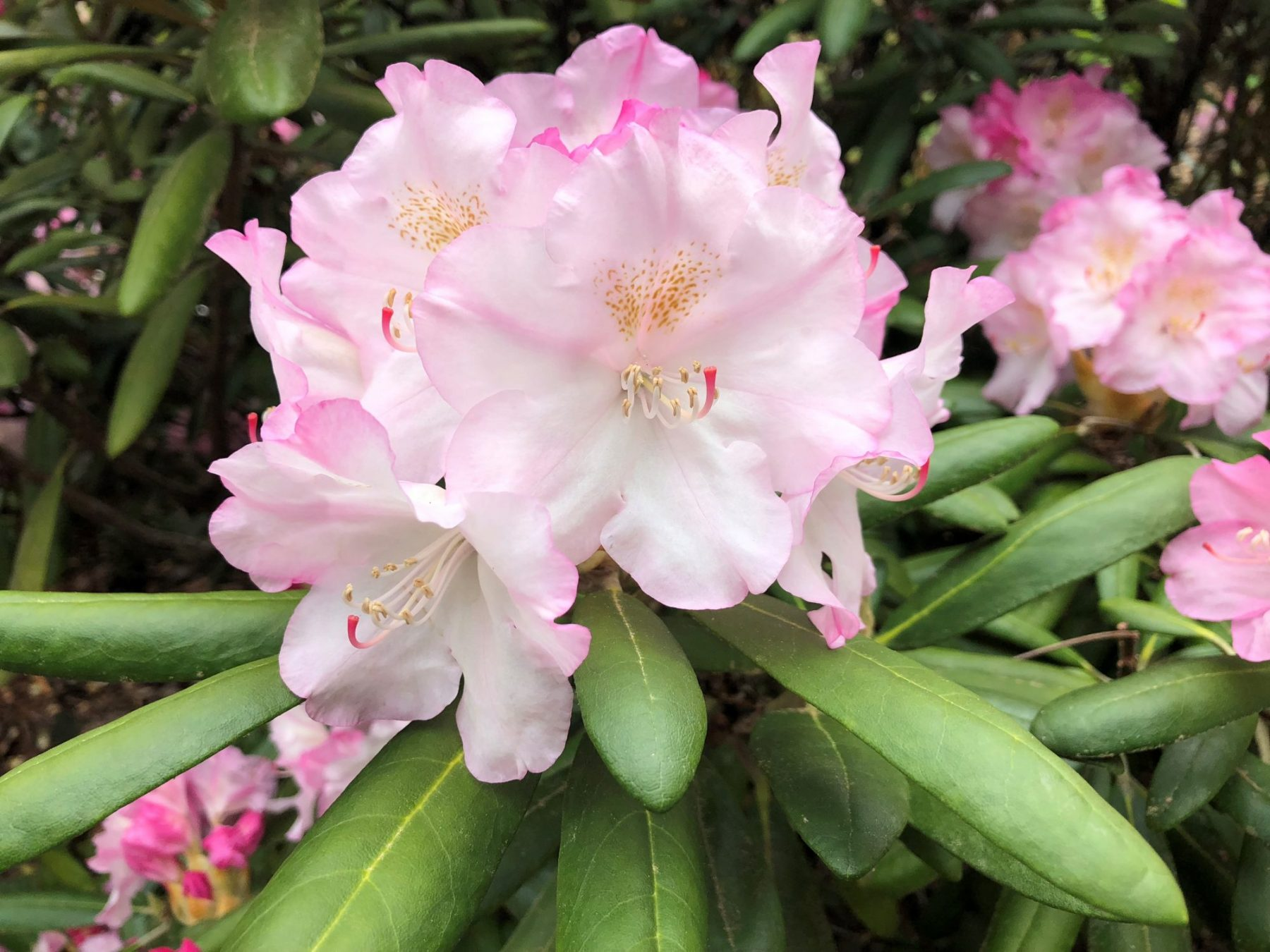 May 2018 Plant Profile Rhododendron Ken Janeck