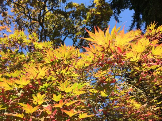 Fiery yellow leaves tipped with red against a bright blue sky