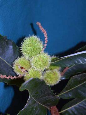 Close-up photo of Castenea crenata fruit