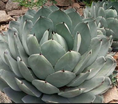 December 2018 Plant Profile: Agave parryi on scilla house plant, lily of the valley house plant, cardamom house plant, cereus house plant, cinnamon house plant, baobab house plant, bottle palm house plant, orange house plant, egg house plant, acacia house plant, weed house plant, mandevilla house plant, vanilla house plant, hemp house plant, colocasia house plant, lantana house plant, cactus house plant, windmill palm house plant, sansevieria house plant, papaya house plant,