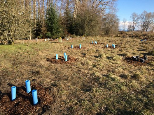 A restoration site with newly planted saplings protected by plastic cylinders