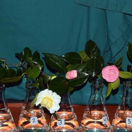 Selections from the Camellia Collection at the Washington Park Arboretum, March 11 - 24, 2019