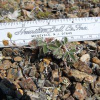 The diminutive snow cinquefoil, Rare Care's latest edition to the focus species list. Photo by Scott Batiuk