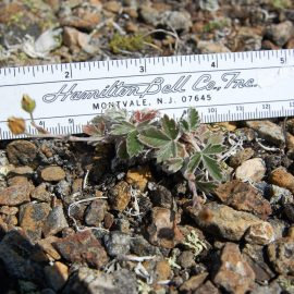 The diminutive snow cinquefoil, Rare Care's latest edition to the focus species list. Photo by Scott Batiuk