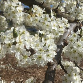 prunus-salicina-beauty