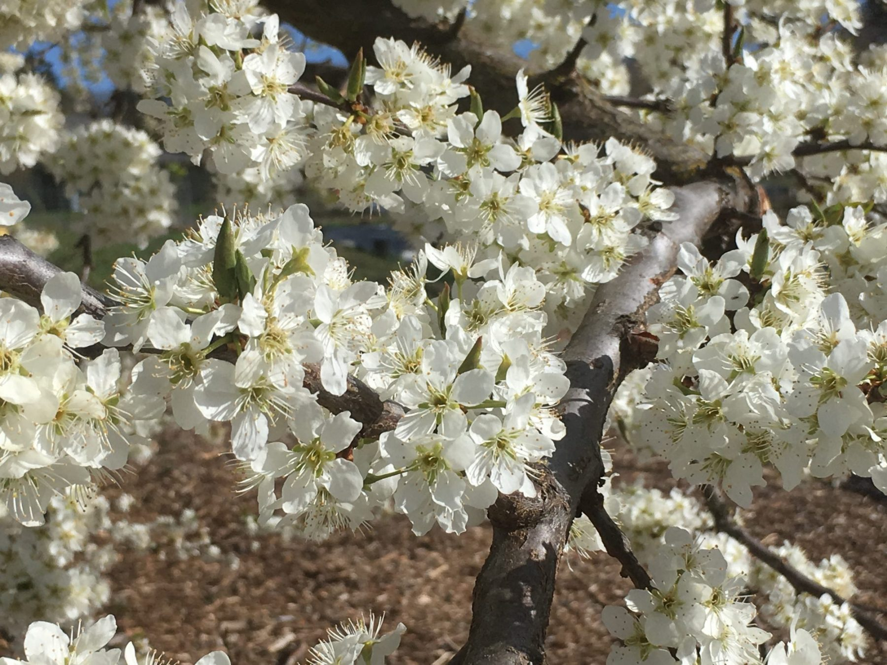 prunus-salicina-beauty