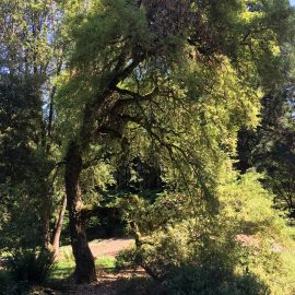 Quercus suber habit
