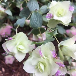 pale green bracts with tiny pink flowers