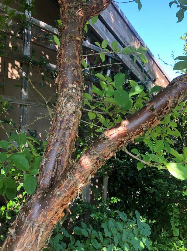 Chionanthus retusus bark closeup