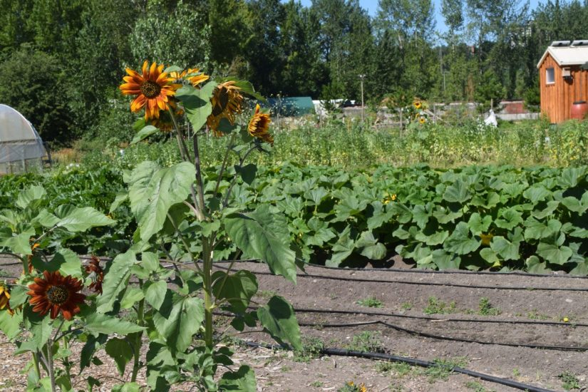 sunflowers and squash at uw farm