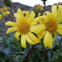 Late summer blooms of Olympic mountain ragwort