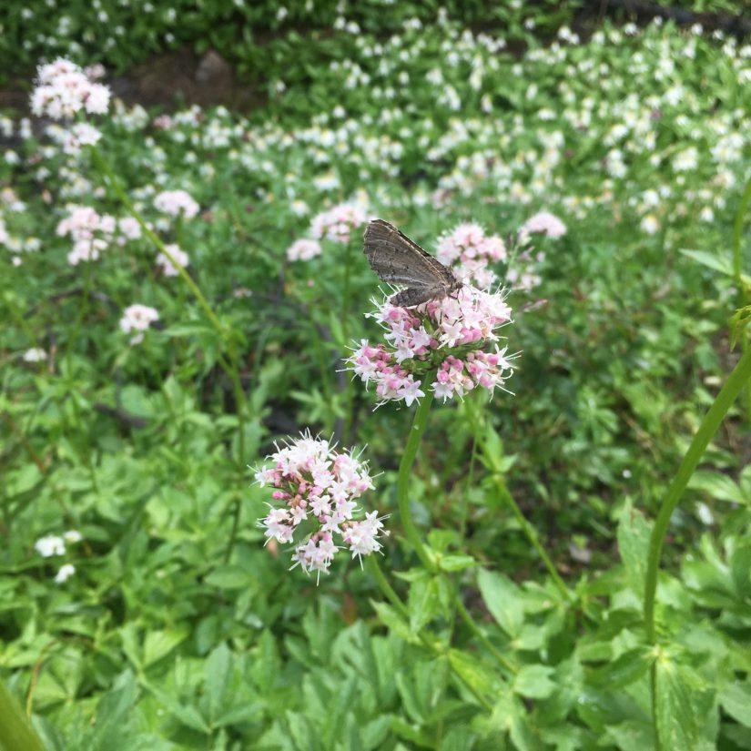 Moth on Sitka valerian (Valeriana sitchensis) bloom (Photo: Maya Kahn-Abrams)