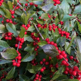 Berry close up of ilex verticillata