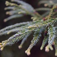 Sequoia sempervirens, cultivar Adpressa