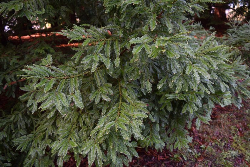 Sequoia sempervirens, cultivar Santa Rosa