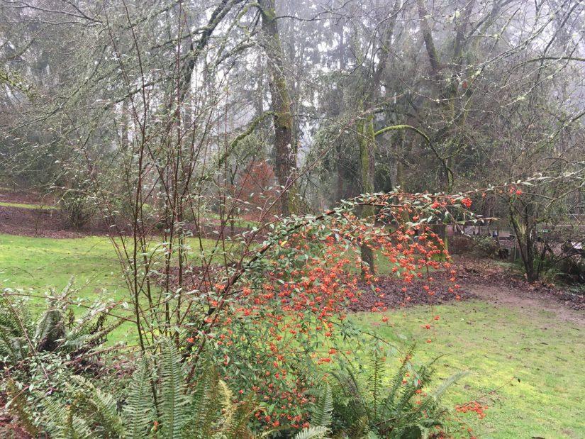Cotoneaster salicifolius habit growing in the Arboretum