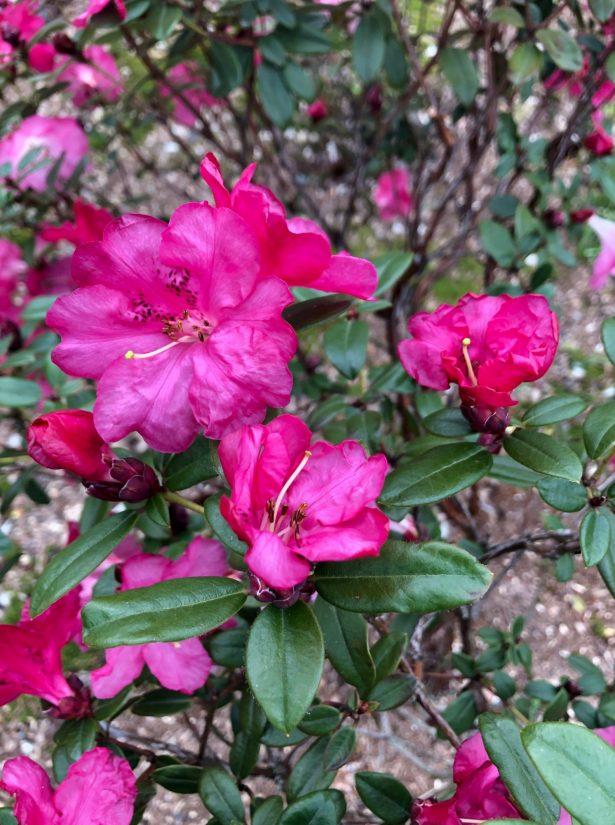 Rhododendon moupinense dark red flower