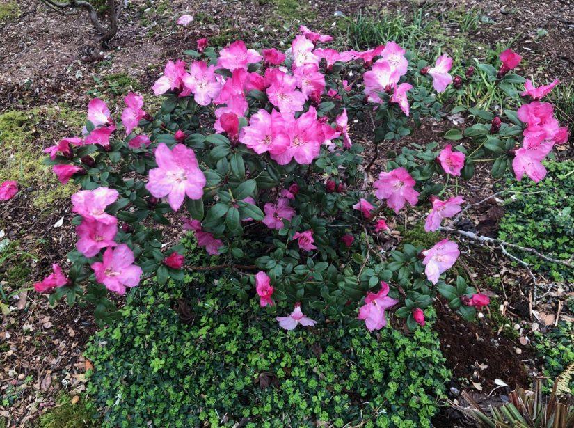 Rhododendon moupinense habit