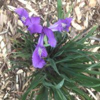 Photo of Oregon Iris