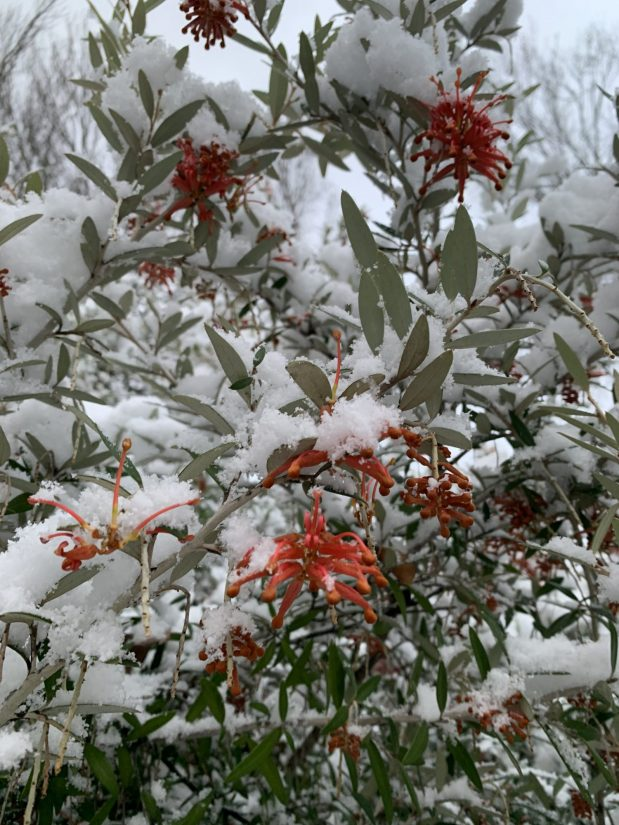 grevillea covered in snow