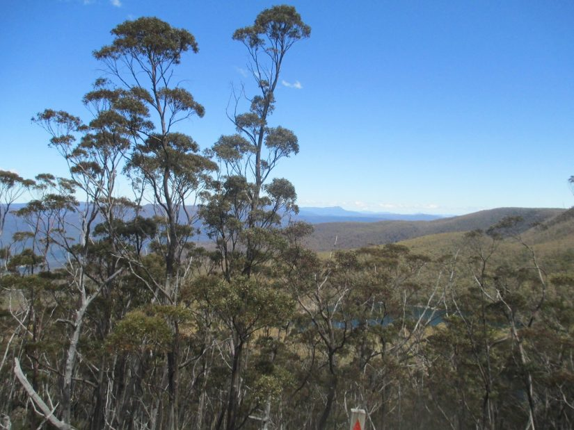 snow gum forest with blue sky