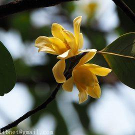 magnolia ernestii