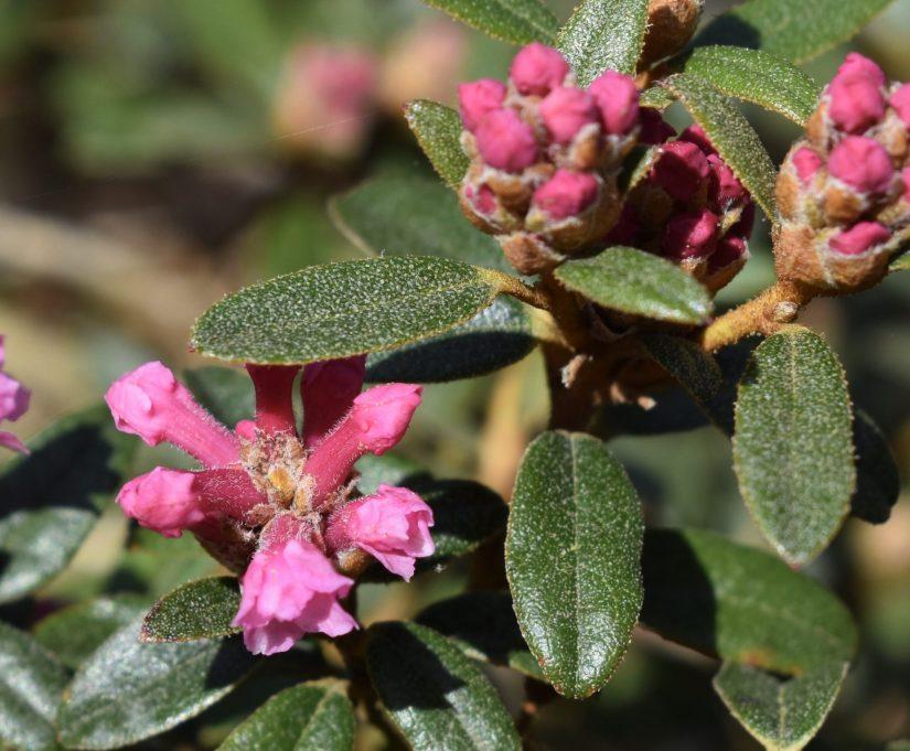 tubular shaped pink flowers