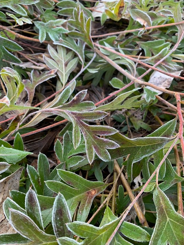 close up of grevillea leaves
