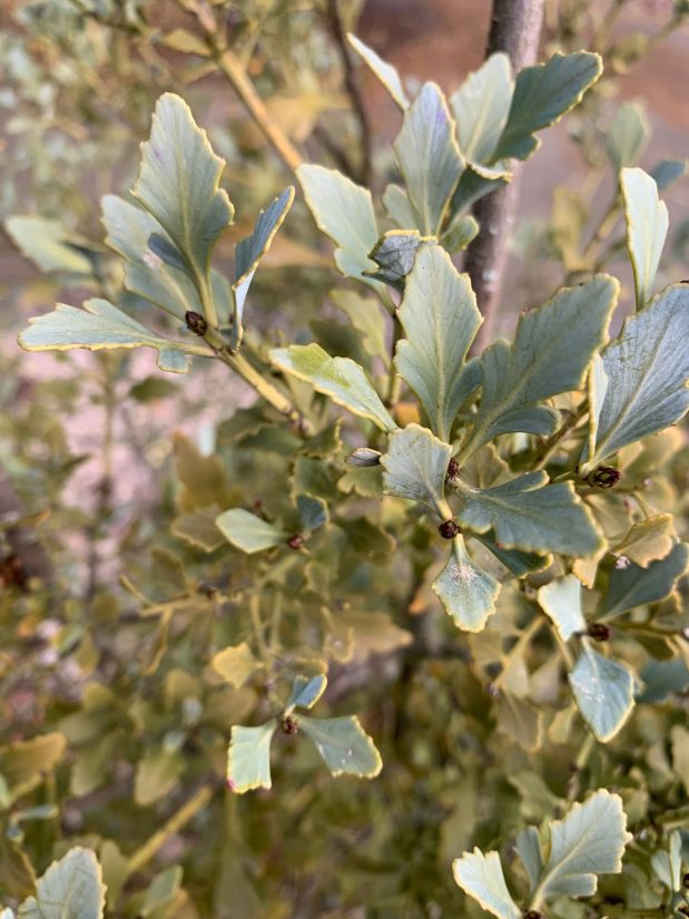 blue green leaf-like branches