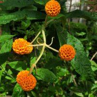 Photo of Orange Ball Buddleja