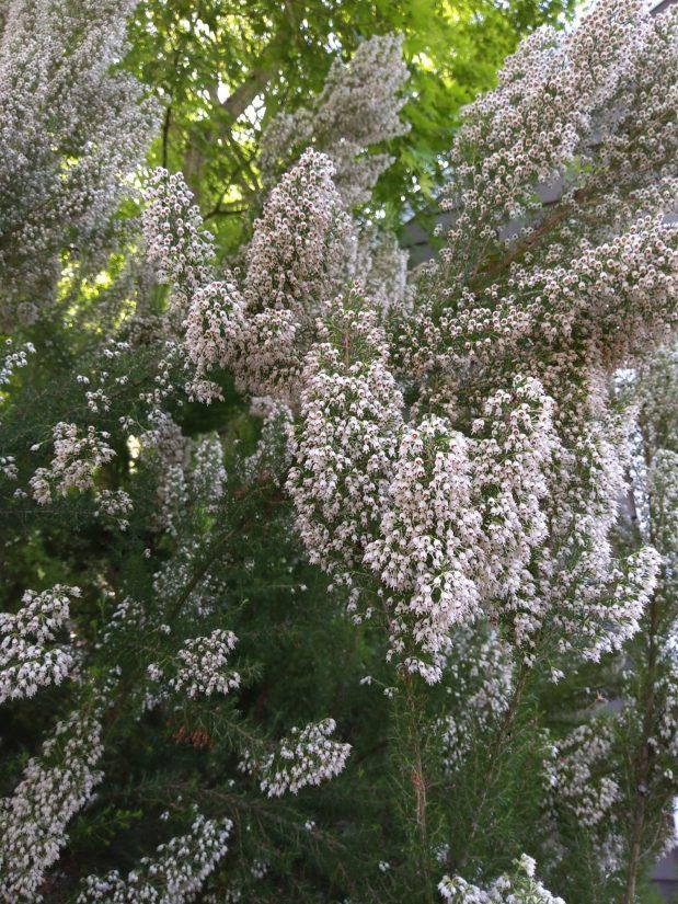 Photo of Tree Heath
