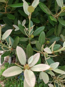 Photo of Dwarf Tanbark Oak