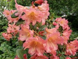 Photo of Rhododendron 'Orange Marmalade'