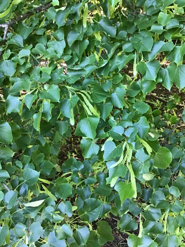 americana var. heterophylla cluster of leaves