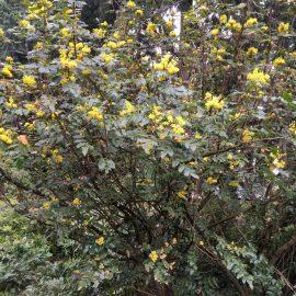 Photo of Tall Oregon Grape