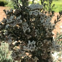 Photo of Ozothamnus rosmarinifolius 'Silver Jubilee'
