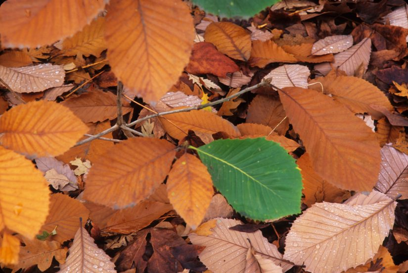 fallen leaves with fall color and one green leaf